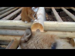 Хаски Мася и кот Бонифаций=))